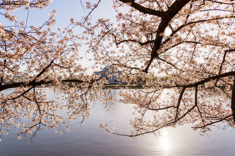 Cherry tree over lake by jefferson memorial against sky