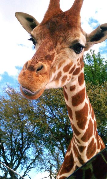 Giraffe Long Neck  Tongue Lick Smile Tree Sunroof Springtime
