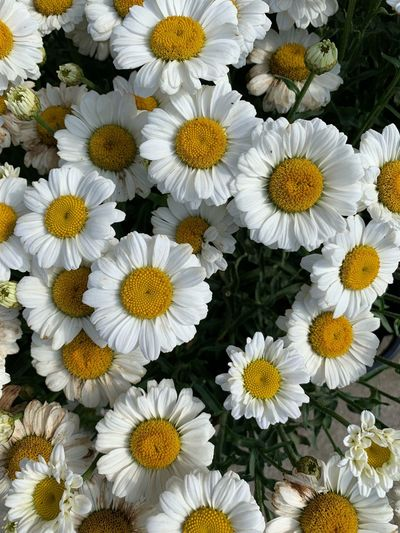 Flower Flowering Plant Freshness Flower Head Beauty In Nature Vulnerability  Petal Fragility Inflorescence Close-up Growth Plant Yellow High Angle View No People Pollen Nature Full Frame White Color Daisy