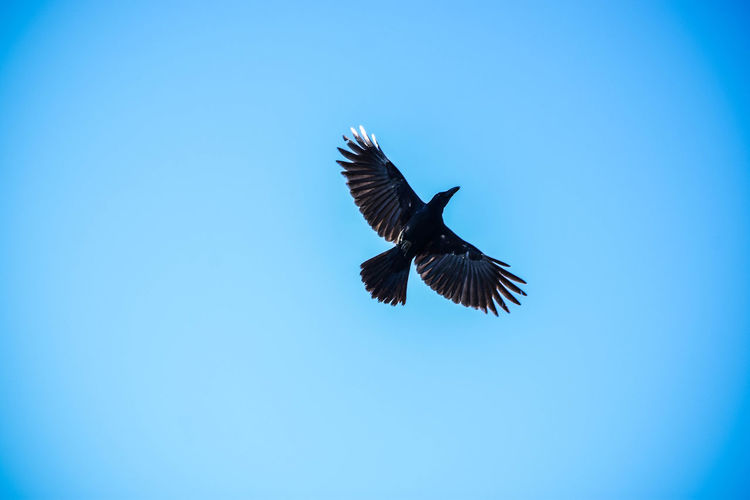 A crow in