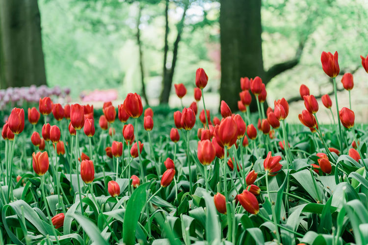 Tulips in Holland Plant Growth Flowering Plant Flower Beauty In Nature Freshness Red Vulnerability  Fragility Close-up Land No People Day Green Color Nature Flower Head Tree Tulip Inflorescence Petal Outdoors Flowerbed Tulips🌷 Tulips In The Springtime
