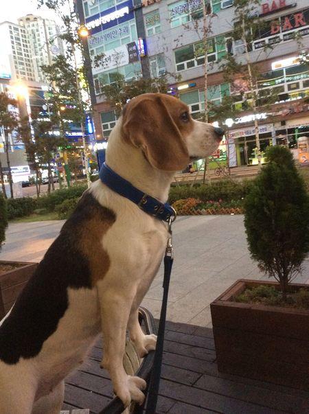 Popular Photos Pet Dog Beagle