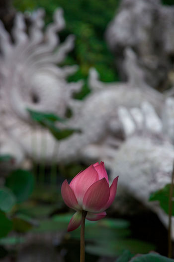 Beautiful Lotus Flower Pagoda Vietnam Beauty In Nature Close-up Da Nang Day Flower Flower Head Flowering Plant Focus On Foreground Fragility Freshness Growth Inflorescence Lotus Water Lily Nature No People Outdoors Petal Pink Color Plant Plant Stem Selective Focus Vulnerability