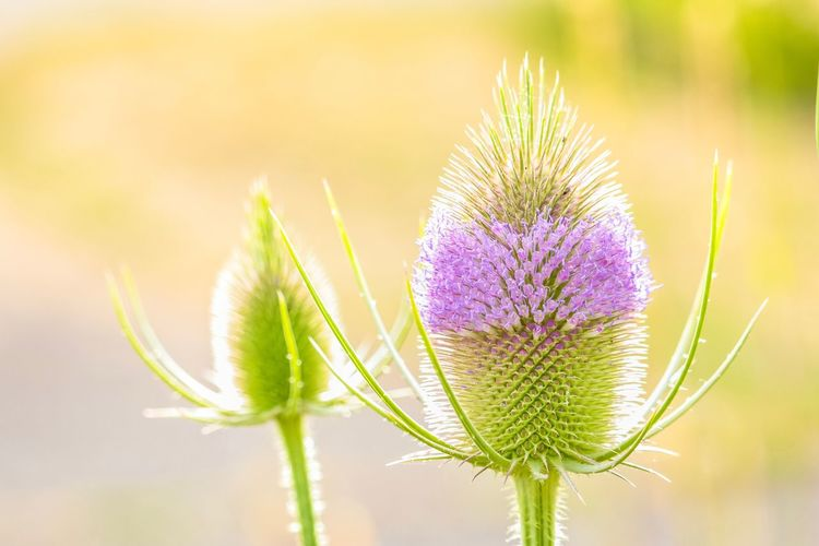 Plant Flower Flowering Plant Beauty In Nature Nature Freshness Growth Close-up Fragility Vulnerability  Focus On Foreground No People Flower Head Green Color Uncultivated Botany Outdoors Purple Day Thistle
