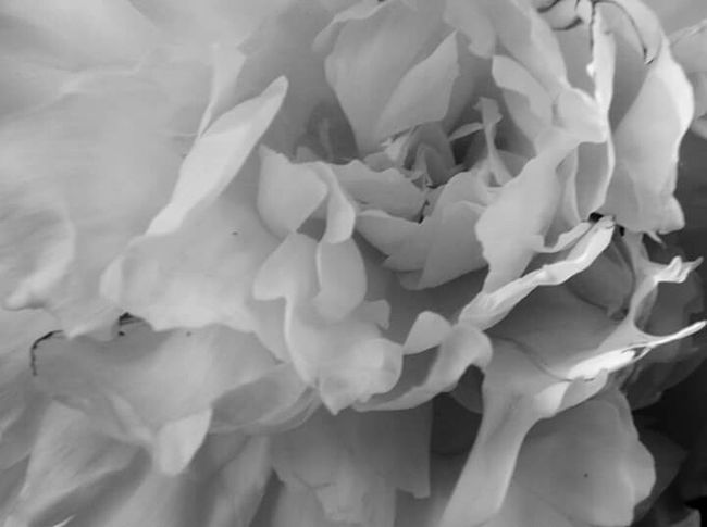 Poenies PeonyBloom Peony  In My Garden Beautiful Nature Nature Blackandwhite Photography Shades Of Grey Flower Photography Flower