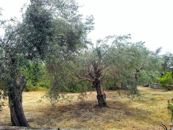 ulivi... Olio Extravergine Di Oliva Coltivazione Oliveto Etna Specialità Potatura Green Life Botany Extra Virgin Olive Oil Sicilian Food Countryside Old Tree Tecnica Di Potatura Ulivo Olive Tree Trees Secular Tree Oil Nature Sicily Tree Sky Petal Pollen Plant Life Growing In Bloom Blooming