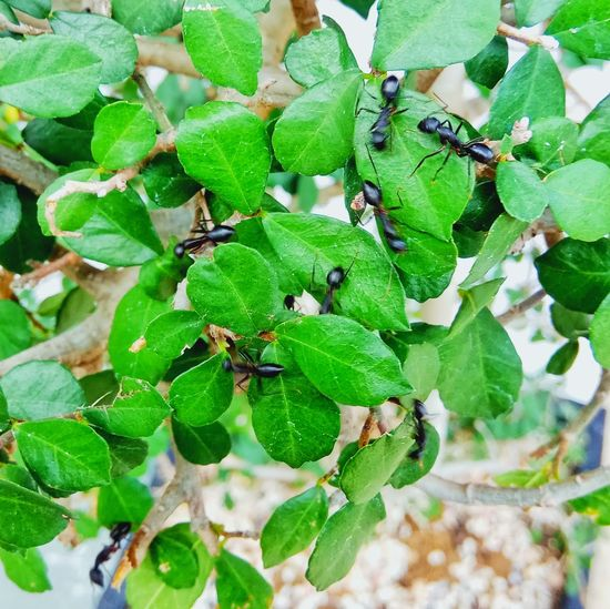 """Sidom Itam"" Tree Semuthitam EyeEmNewHere Leaf Insect Colony Ant Close-up Animal Themes Plant Green Color"