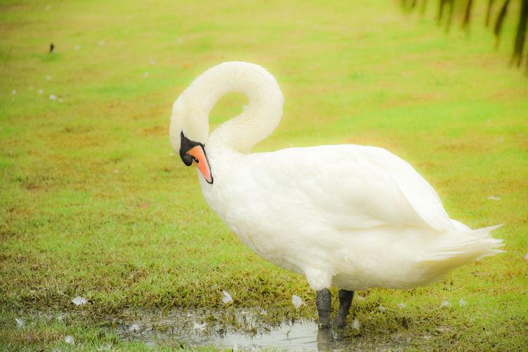 White swan in a field