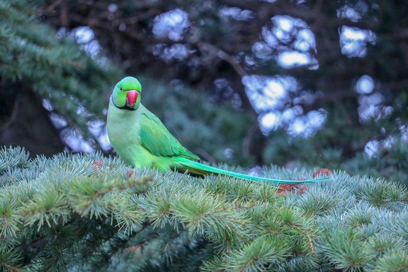 Parakeet Hyde Park Parakeet Bird Animal Vertebrate Animal Themes Animal Wildlife Animals In The Wild Parrot Green Color Outdoors Nature Perching