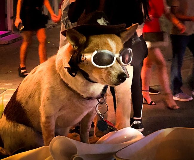 Look at me New Orleans Bourbon Street Night Travel Dog With Sunglasses Dog Canine Mammal Domestic Animals Domestic Pets One Animal Animal Animal Themes Sunglasses Small