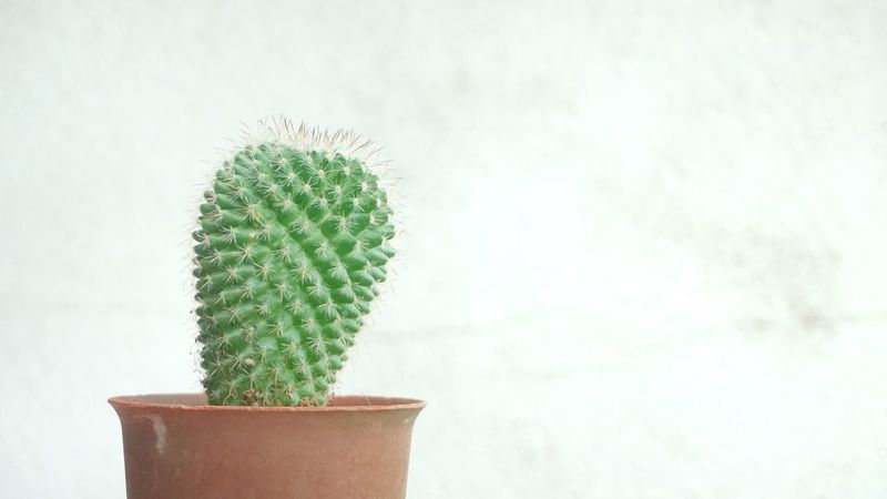 Cactus in brown pot Single Thorn Environment Nature Brown Pot Growth Green Color Plant Cactus Potted Plant No People Close-up Day