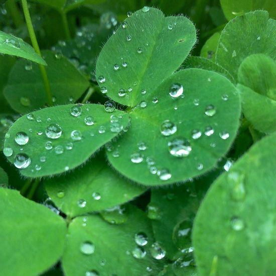 Naturelovers Nature Clover Green Green Nature Dew Dew Drops Summer