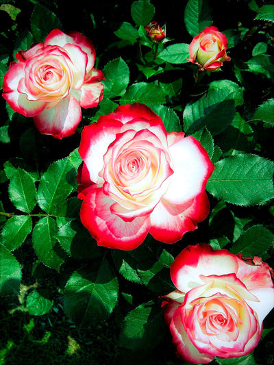 Beauty In Nature Blooming Close-up Day Flower Flower Head Freshness Green Color Growth Leaf Nature No People Outdoors Petal Plant Red Rose - Flower Roses Rosé White Color