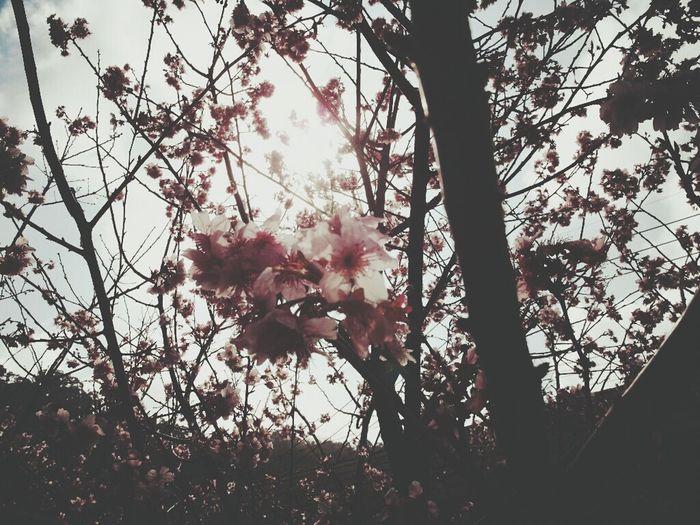 Sakura Sakura Trees Hi! Enjoying Life