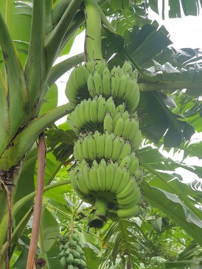 Close-up of banana tree