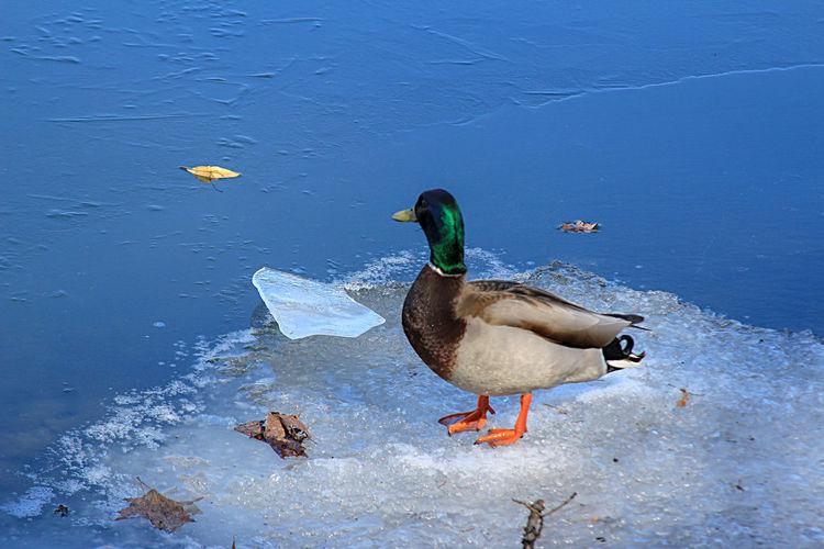 Bird Water Duck
