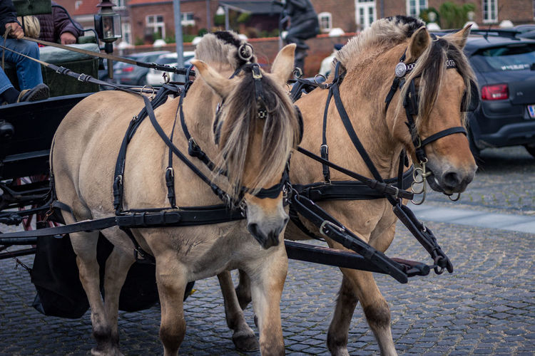 Animal Themes Bridle Close-up Day Domestic Animals Horse Horse Cart Horsedrawn Mammal No People Outdoors Two Animals Working Animal