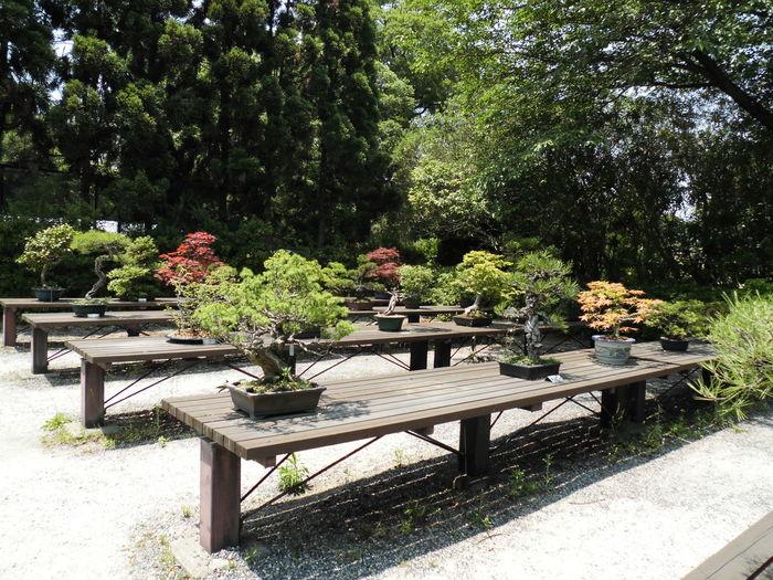 Bonsai 日本 和 盆栽