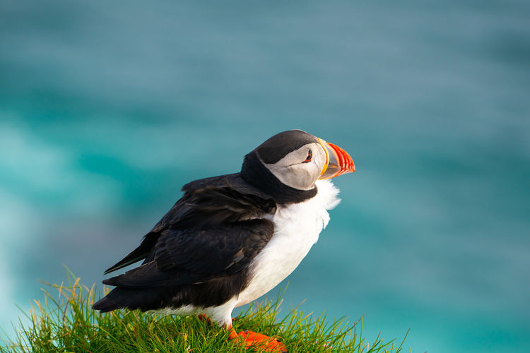 Close-up of puffin