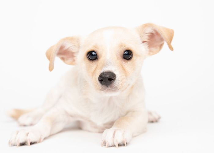 Canine Dog Pets Domestic One Animal Domestic Animals Animal Themes Mammal Animal Portrait Looking At Camera White Background Studio Shot Sitting Young Animal Puppy Cute No People