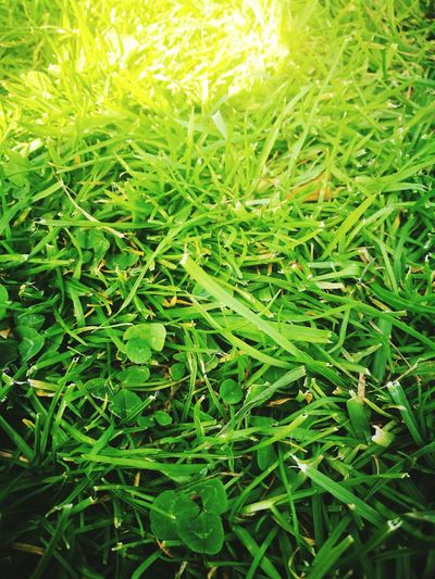 Grass Green Color Nature Outdoors Growth Beauty In Nature Freshness Clover