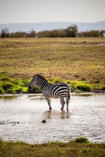 Zebra in the sea