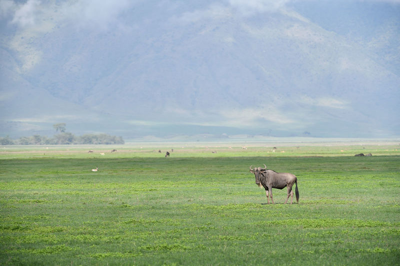 Side view of wildebeest standing on land against mountain