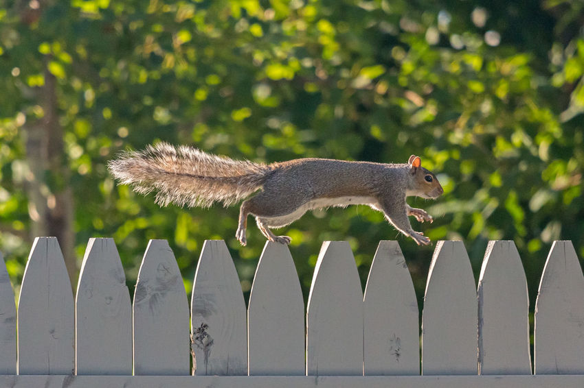 Jumping squirrel on a fence Squirrel Animal Themes Animal Wildlife Animals In The Wild Close-up Day Fence Focus On Foreground Jumping Jumping Squirrel Mammal Nature No People One Animal Outdoors