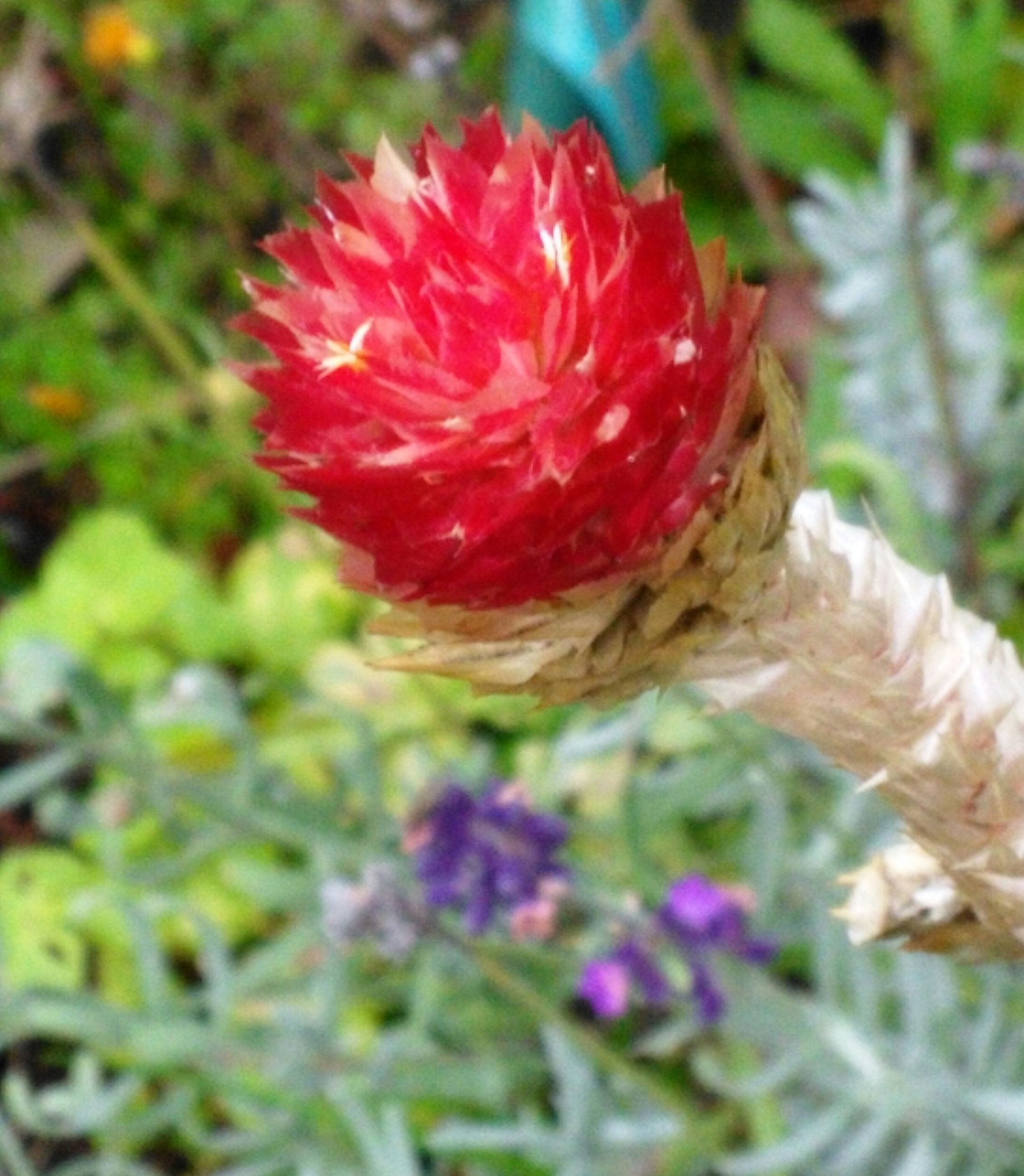 growth, flower, nature, red, plant, close-up, beauty in nature, freshness, outdoors, no people, day, fragility, flower head