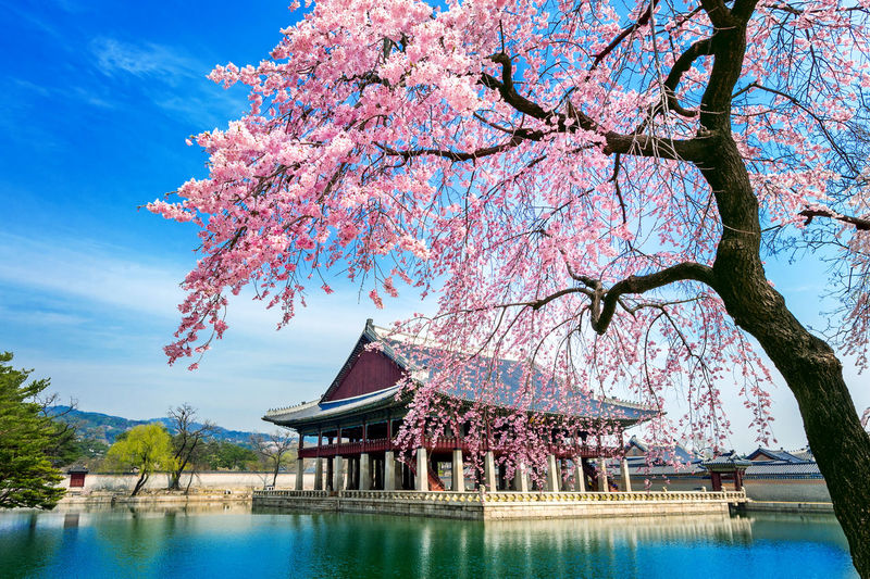 Gyeongbokgung Palace with cherry blossom in spring, Seoul in Korea. Tree Plant Water Flower Nature Sky Architecture Flowering Plant Springtime Beauty In Nature Waterfront Branch Fragility Cherry Blossom Growth Blossom Built Structure Lake Day Pink Color No People Cherry Tree Outdoors
