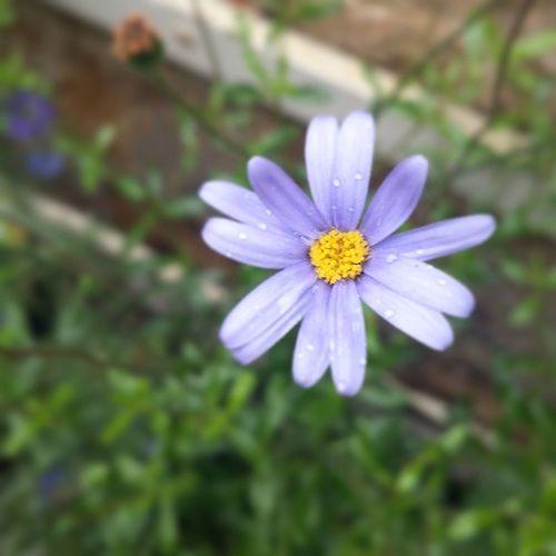 Summerrain Summer Flowers
