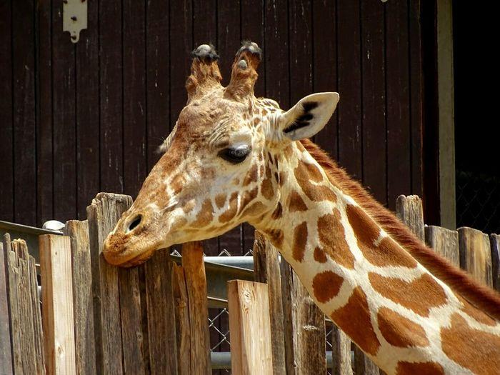 Giraffe Zoo Animal Neck Spots Amazing Oakland Amazingly Tall