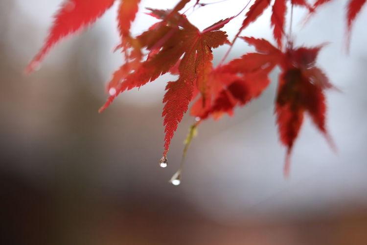 Autumn Colors Autumn Leaves Macro Beauty Rain Rain Drops Rainy Days Red