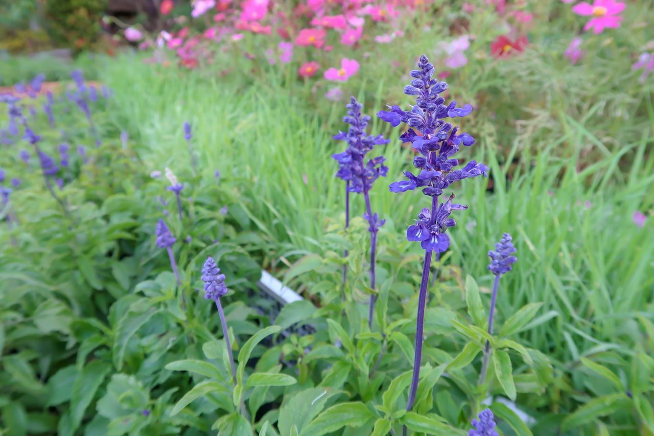 flowering plant, flower, plant, freshness, beauty in nature, vulnerability, growth, fragility, purple, close-up, plant part, leaf, green color, nature, no people, petal, day, flower head, inflorescence, park, lavender, outdoors, springtime, gardening, flowerbed, ornamental garden