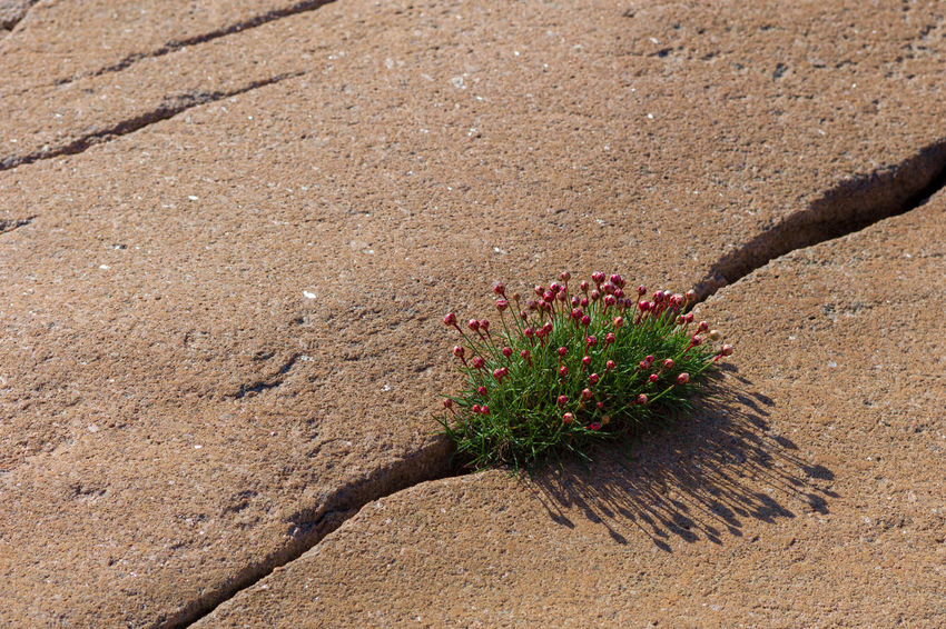 Beach flowers in a granite crevice Nature No People Day Plant Land Red Outdoors High Angle View Flower Beauty In Nature Flowering Plant Close-up Sunlight Growth Environment Landscape Strength Survival Power In Nature Pristine Optimism Stamina Endurance