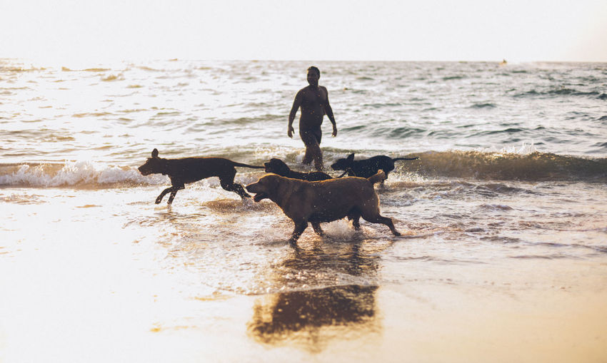 Man with dogs wading in sea