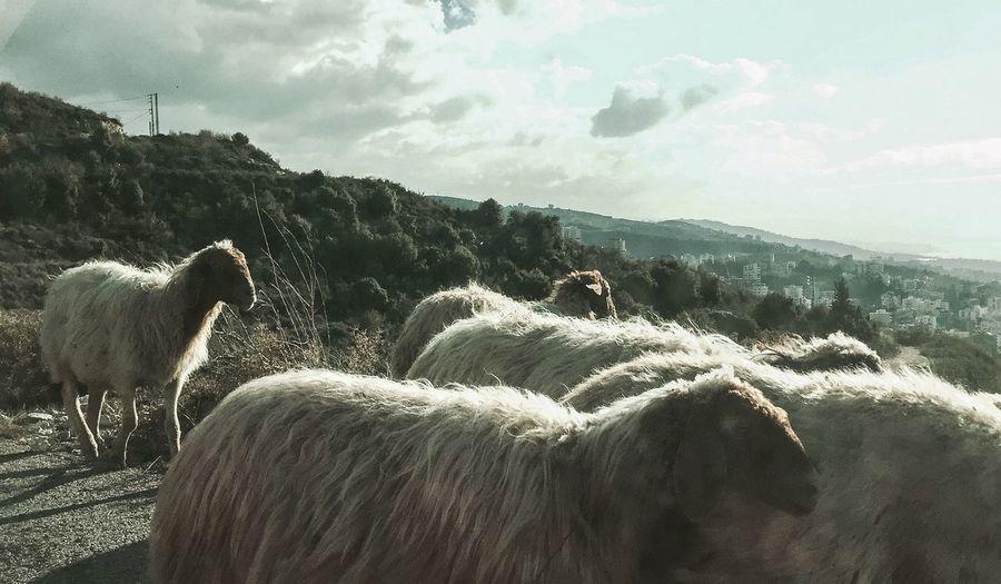 SheepSpotting