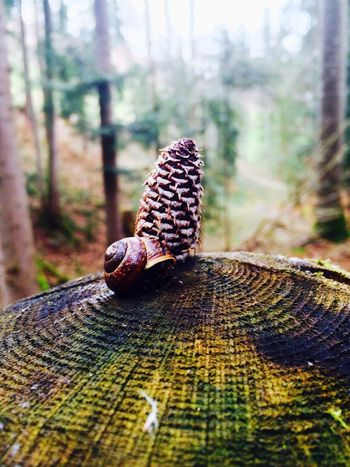 Wald Tannenzapfen Schneckenhaus Schnecke Baumstumpf Baumstamm Wald Schweiz Nature Nature Photography Forest Forest Photography Snail Snail🐌 Snail Collection Snails Snailshell Snails🐌 Snail Shell