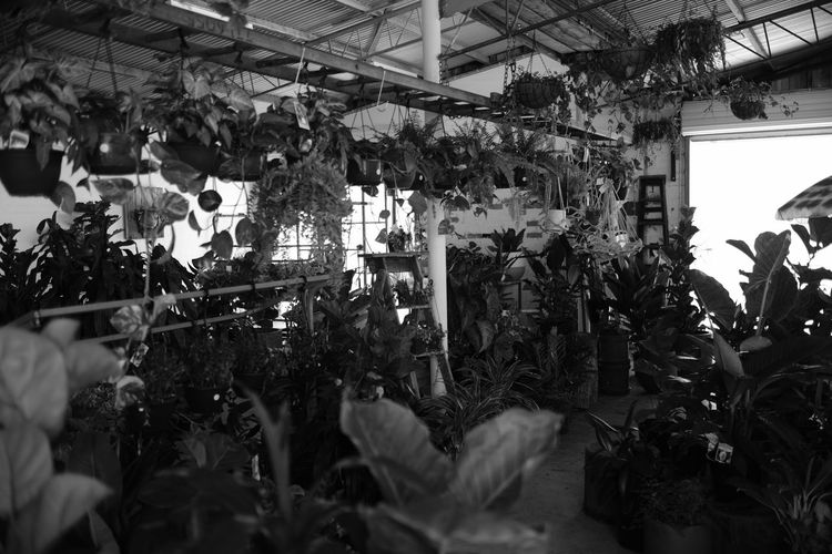 Beauty In Nature Black And White Blackandwhite Close-up Day Fujifilm Greenhouse Growth Hanging Indoors  Monochrome Nature No People Plant Plant Nursery