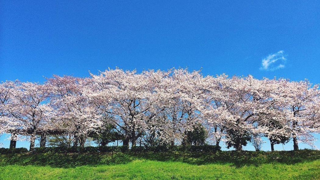 桜 Landscape Flower Sky Sky_collection