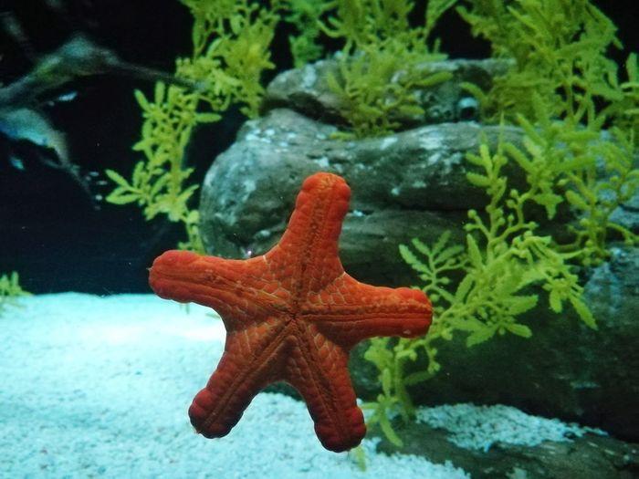 Star Animal Animals In The Wild Marine Life Marine Star Marine Animal Sea Life Water UnderSea Red Underwater Starfish  Animal Themes Close-up Plant Life Fish Tank Aquarium Star Shape Tank Water Tank