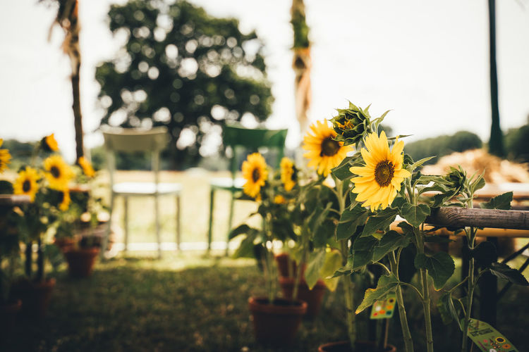 Countryside wedding seating, with wedding aisle and chairs decorated with bright yellow sunflowers.