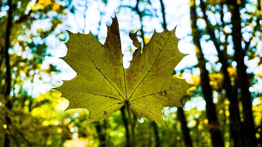 Leaf Plant Part Plant Tree Nature Growth Beauty In Nature Close-up No People Day Autumn Leaf Vein Outdoors Focus On Foreground Green Color Maple Leaf Tranquility Change Sky Low Angle View