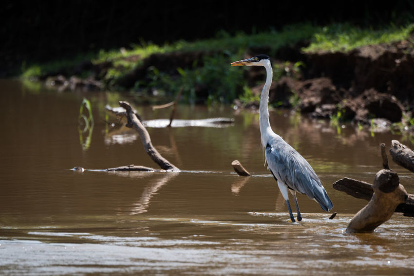 Animal Themes Animal Wildlife Animals In The Wild Beauty In Nature Bird Coco Day Gray Heron Nature Nature Reserve No People Outdoors Water Yacare