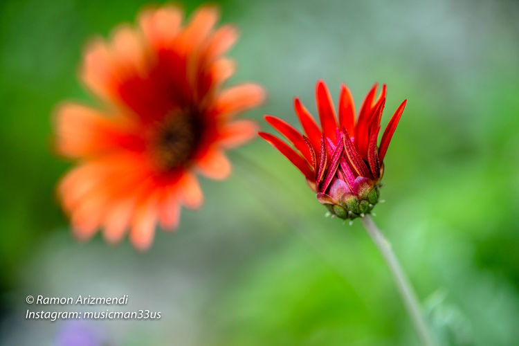 Blossoming Arctotis Red Devil Flower. Arctotis Red Devil Daisy Arctotis Beauty In Nature Blossom Close-up Flower Flower Head Flowering Plant Focus On Foreground Green Color Growth Nature No People Outdoors Petal Plant Red Red Flower Selective Focus