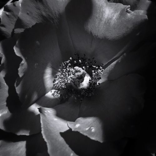 Rose in black and white Black And White Rose Rose - Flower EyeEm Flower EyeEm Nature Lover EyeEm Selects Flowering Plant Flower Close-up Plant Fragility Vulnerability  Beauty In Nature