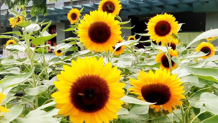 Eyeem Philippines Beautiful Philippines Park Nature Flower Head Flower Yellow Sunflower Petal Close-up Blooming Plant Daytime Scenery Relaxing Moments Attractive Summer Exploratorium The Still Life Photographer - 2018 EyeEm Awards