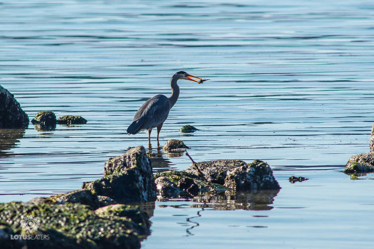 Beautiful Birds Beauty In Nature Birds Fishing Birds Fu Blue Blue Heron E Day Denman Island Idyllic Nature No People Non-urban Scene Outdoors Remote Rippled Rock Rock - Object Rock Formation Scenics Sky Tranquil Scene Tranquility Water