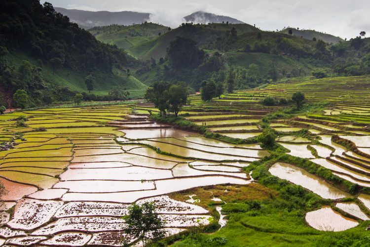 Scenics - Nature Agriculture Landscape Plant Environment Tranquil Scene Rice Paddy Rice - Cereal Plant Mountain Green Color Beauty In Nature Land Farm Field Tree Terrace Rural Scene Rice Terraced Field Tranquility No People Outdoors Plantation