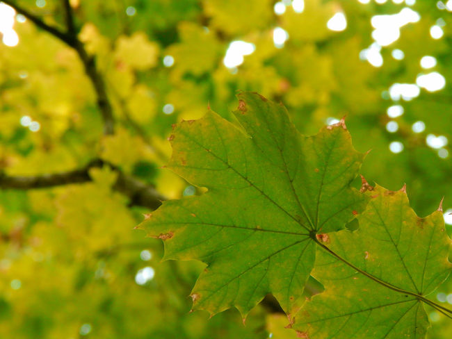 Autumn Beauty In Nature Branch Close-up Focus On Foreground Freshness Green Green Color Growth Leaf Leaf Vein Leaves Nature Outdoors Plant Tranquility